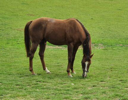 Inchando Teaser stallion