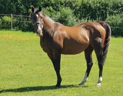 Putra Sas teaser stallion picture